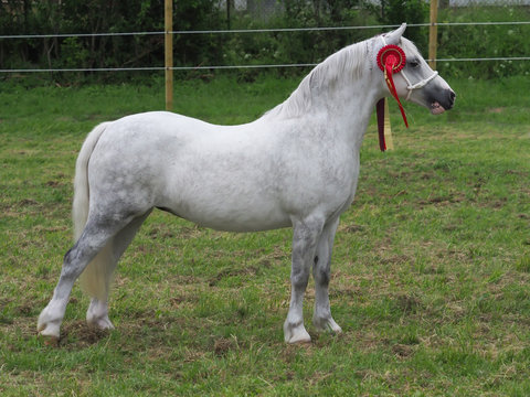 Welsh Pony Standing