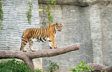 Photo sur Toile Tigre bengal tiger in zoo