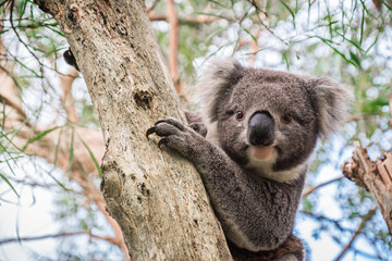 Wild koala sitting on a tree