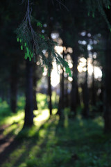 Spruce branch against a ray of light