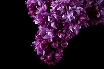 lilac flowers isolated on black background