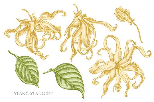 Vector collection of hand drawn pastel ylang-ylang