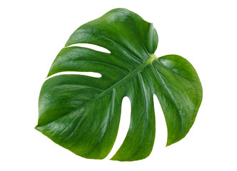Green monstera tropical leaf on white background, top view.