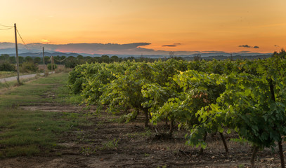 Vineyard at sunset, southern France