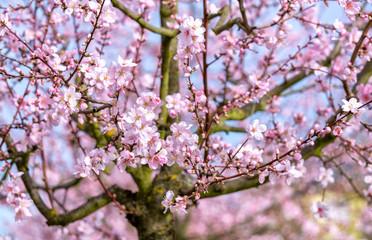 Rosa Mandelblüte im Frühling
