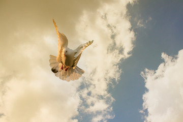 white feather homing pigeon flying against cloudy sky