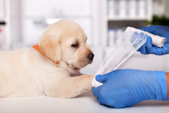 Veterinary healthcare professional hands put bandage on cute labrador puppy leg