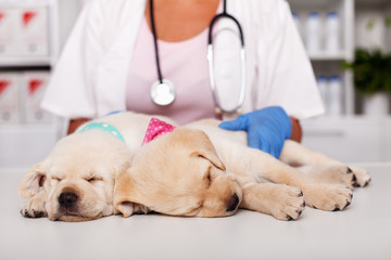 Cute labrador puppy dogs asleep on examination table at the veterinary doctor office