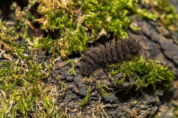 Black hairy caterpillar
