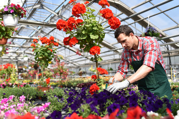 Gärtner arbeitet in einem Gewächs mit bunten Blumen für den Verkauf // Gardener works in a greenhouse in a flower shop