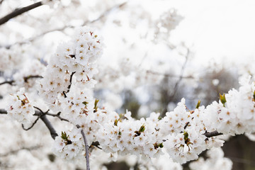 Beautiful White Cherry Blossoms Against Cloudy Sky, Space For Text