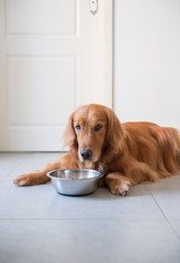 The Golden Retriever dog is eating dog food.