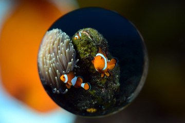 Incredible underwater world - Amphiprion ocellaris - False clown anemonfish (Western clownfish). Diving in Bali.