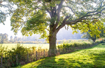 Light filters through a large oak tree along a fenceline between grazing pastures in Shropshire, England.