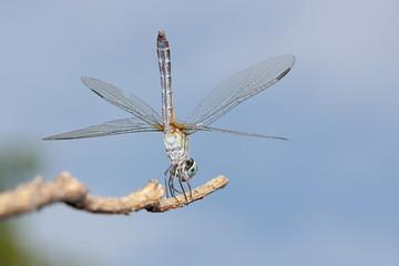Blue Dasher Dragonfly Handstand