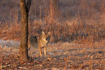 Coyote Sunrise Staredown