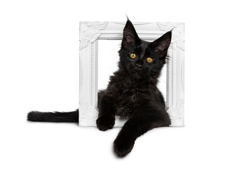 Cute solid black Maine Coon cat kitten, laying down side ways through white picture frame. Looking beside lens with golden yellow eyes. Isolated on white background. Paw over edge.