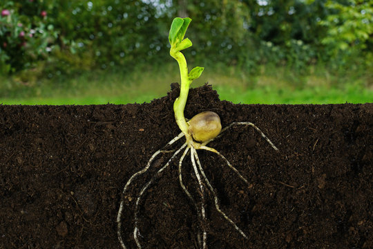 Growing sprout plant and roots under ground a garden.