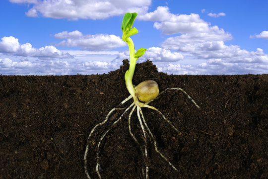 Growing sprout plant and roots under ground with blue sky.
