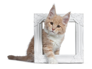Cute cream with white  Maine Coon cat kitten, sitting through white photo frame. Looking cheeky to lens with brown eyes. Isolated on a white background.