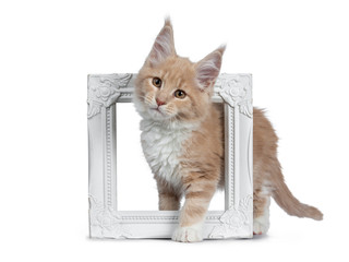 Cute cream with white  Maine Coon cat kitten, standing side ways through white photo frame. Looking cheeky to lens with brown eyes. Isolated on a white background.