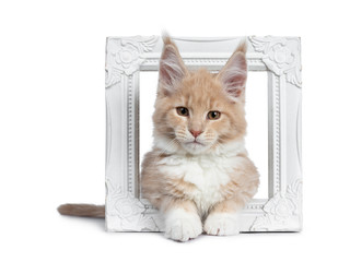 Cute cream with white  Maine Coon cat kitten, laying through white photo frame. Looking cheeky to lens with brown eyes. Isolated on a white background.