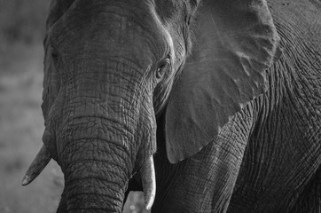 The stunning wrinkles of an elephant close up at Mala Mala Reserve near Johannesburg South Africa