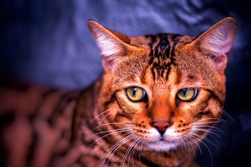 Bengal male Cat look like tiger .