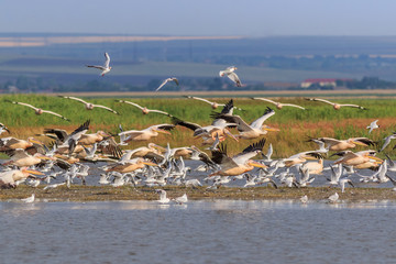 white pelicans and seagulls in flight