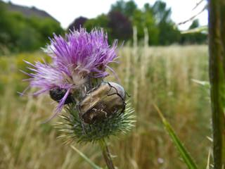 Insekt - Gold-Rosenkäfer