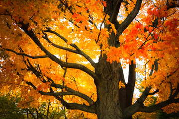 Colorful maple tree leaves turning gold and red in autumn as the seasons change.