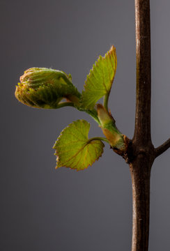 Grapevine bud and leaves