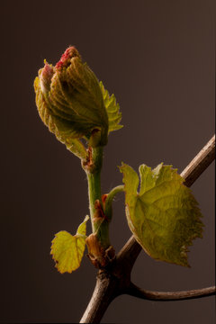 Grapevine shoot grows fruit cluster and leaves