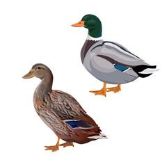 Male and female mallard duck