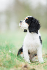 Spaniel puppy sits with head turned