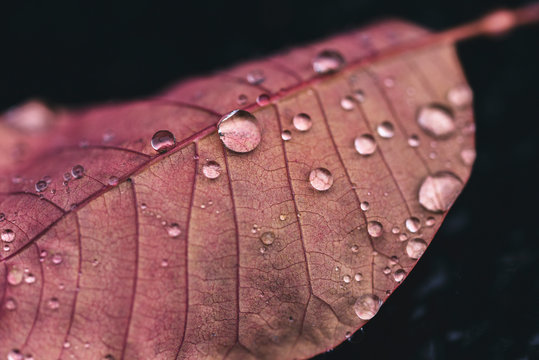Close up of water drops on pink leaf