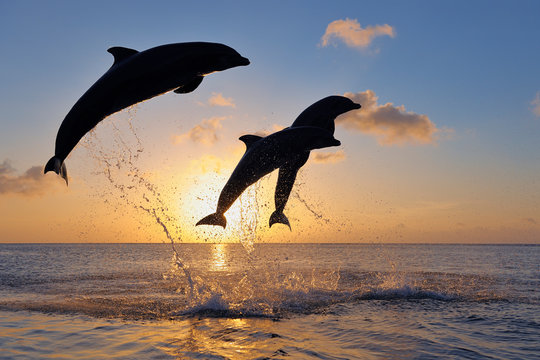 Bottlenose dolphins jumping in Caribbean sea during sunset