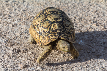 Turtle in Etosha Park, Namibia