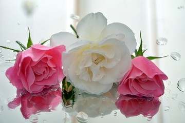 bouquet of pink roses icebergs ragrant roses pedals