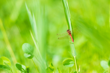 Red male Common Darter (Sympetrum striolatum) resting in a green meadow