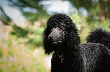 Black Standard Poodle dog outdoor portrait
