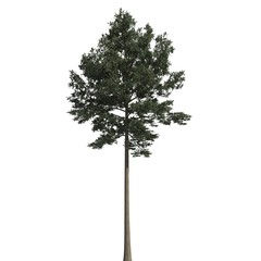 Pine tree 3d illustration isolated on the white background