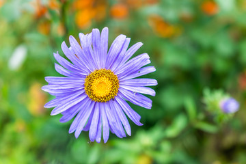 Macro closeup of purple blue light gerbera flower in garden showing detail texture and bokeh background with yellow center