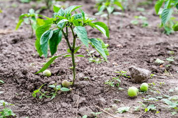 Closeup of green small tomato or eggplant plant hanging leaves growing in garden dirt soil with fallen apples fruit in orchard