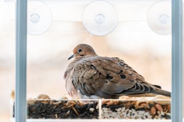 Closeup of mourning dove bird sitting perched on plastic glass window feeder perch by nuts seeds in Virginia