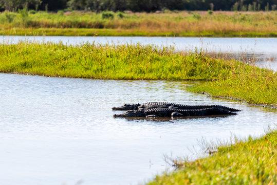 Two alligators reptiles in deep hole famous alligator lake pond in Myakka River State Park in Sarasota, Florida, closeup lying swimming in water