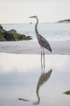 A blue heron on a beach in Clearwater, Florida