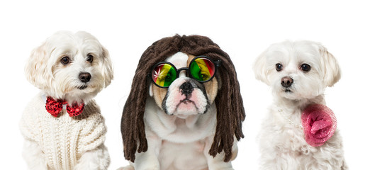 English bulldog puppy, Maltese dogs, in front of white backgroun