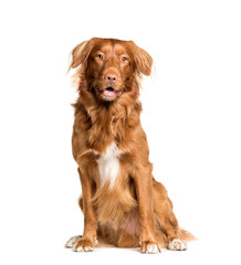 Wall Mural - Toller dog sitting in front of white background