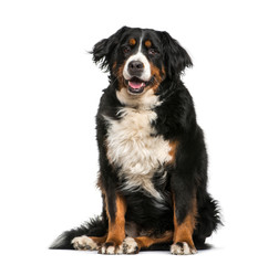 Bernese Mountain dog, 6 years old, sitting in front of white bac